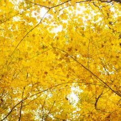 A canopy of trees, yellowed in autumn